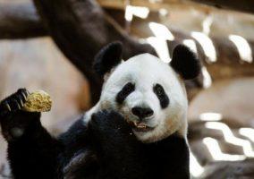 porno-panda